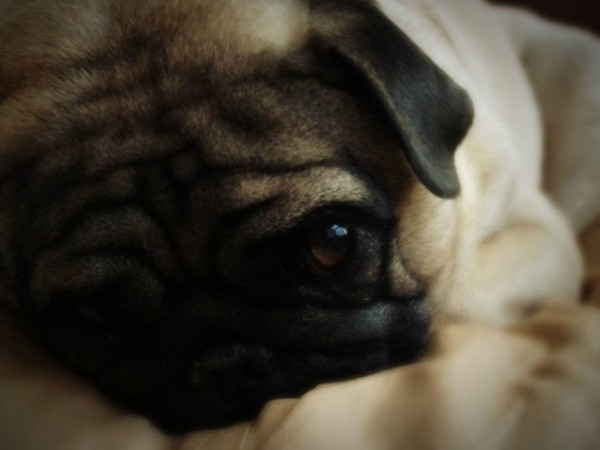 Just to show how sorry we are, here's a really sorry pug. D'aaaawwwww.