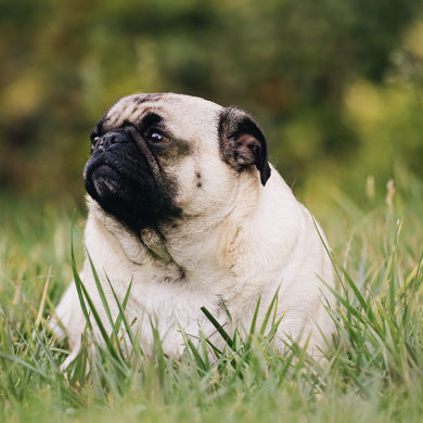 Chonky pug is a metaphor for Windows 10 increasing minimum storage requirement to 32GB.