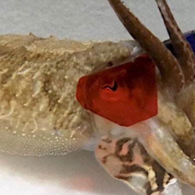 Cuttlefish 3D
