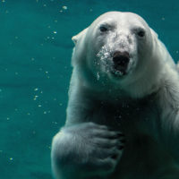 Polar Bear Peter Neumann Unsplash