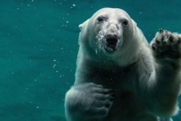 Polar Bear Peter Neumann Unsplash